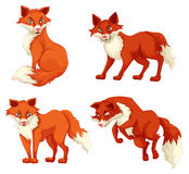Four foxes in different poses Royalty Free Stock Image