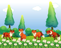 Four foxes in the flower field Stock Photography