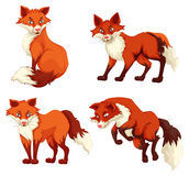 Four foxes with red fur Stock Photo