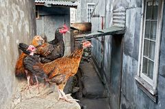 Four free roaming chickens standing together in a group royalty free stock images