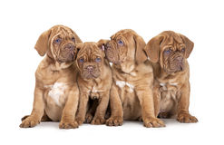 Four French Mastiff puppies Royalty Free Stock Image