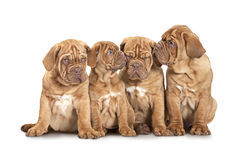 Four French Mastiff puppies over white Stock Images