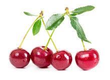 Four fresh cherries on a branch with water drops Stock Photos