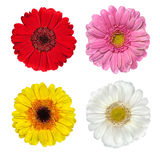Four Fresh Gerbera Flowers Isolated on White Royalty Free Stock Photography