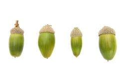 Four fresh green acorns Royalty Free Stock Image