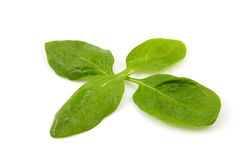 Four fresh spinach leaves Royalty Free Stock Image