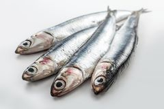 Four fresh anchovies  on white background. Four fresh whole anchovies  on white background Royalty Free Stock Photography