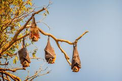 Four fruit bats also called flying foxes hanging upside down from the branch of a tree in Sydney, Australia. The sky is blue and the sunshine is accentuating royalty free stock photos