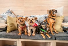 Four funny cute dogs ex abandoned homeless adopted by good people and having fun on the pillows in the pet shop enjoying new life. Selective focus stock photos