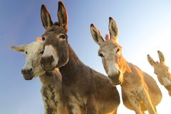 Four funny donkeys. Portrait of four donkeys with funny faces royalty free stock photography