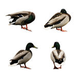 Four funny ducks Royalty Free Stock Photography
