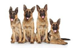 Four funny shepherd Stock Photo