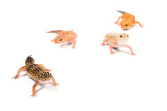 Four Gecko in front of a white background. Four diiferent looking Gecko in front of a white background royalty free stock photos