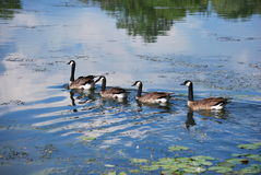 Four geese. Swimming in a river Royalty Free Stock Images