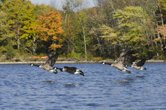 Geese Flying Above the Water Stock Images