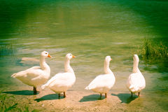 Four geese gossip meeting. Four geese chatting on the shore of the lake Royalty Free Stock Photos
