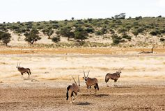 Four Gemsbuck grazing in the Kalahari. Desert, South-Africa Stock Photo