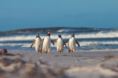 Four Gentoo penguins walking from the sea on a sunny Winter's da Stock Images