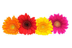 Four Gerber Daisy  on white Stock Image