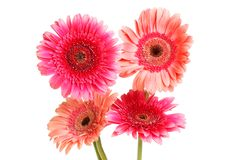Four gerbera daisies. Isolated against white stock images