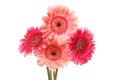 Four gerbera flowers. Isolated against white royalty free stock image