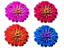 Multicolored gerbera on a transparent background Stock Photography