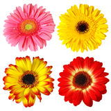 Four Gerberas Stock Photography