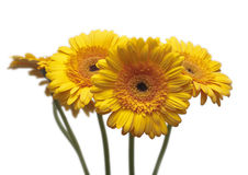 Four gerberas isolated Royalty Free Stock Images