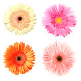 Four gerberas on white Royalty Free Stock Photography