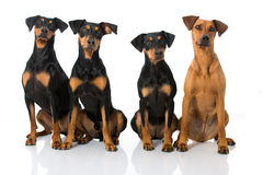 Four german pinscher Royalty Free Stock Images