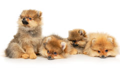 Four German Spitz Royalty Free Stock Photo
