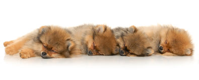 Four German Spitz Royalty Free Stock Images