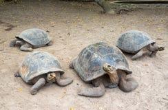 Four Giant Tortoises Royalty Free Stock Photo