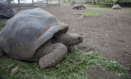Four Giant tortoises on Mauritius Island. Giant tortoises on Mauritius Island Royalty Free Stock Photos