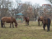 Four ginger brown horses eating straw on meadow in autumn misty. Four ginger brown horses eating straw on meadow in late winter misty day in Prague park, bare Royalty Free Stock Photography