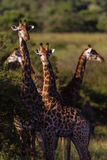 Four Giraffe's Ears Alert Wildlife Stock Photography