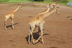 Four giraffe walk Stock Photo