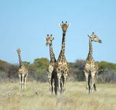 Four Giraffes. In the wild of Namibia, Africa Royalty Free Stock Image