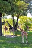 Four Giraffes. Four Reticulated Giraffes in a South Florida zoo stock photography