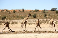 Four giraffes drinking Africa. Four giraffes drinking in Kgalagadi Transfrontier Park South-Africa and Botswana Royalty Free Stock Photos