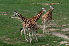 Four giraffes Royalty Free Stock Images