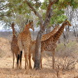 Four giraffes resting under tree,Kruger NP Royalty Free Stock Photos