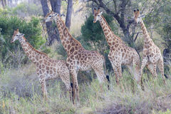 Four giraffes in a row Stock Images