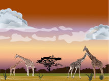 Four giraffes in savanna Stock Photos