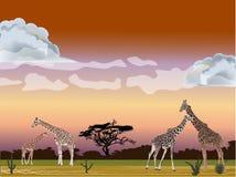 Four giraffes in savanna Stock Photos