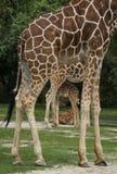 Four Giraffes Stock Image