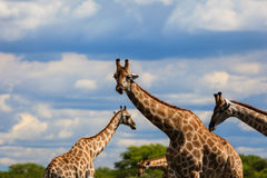 Four giraffes stand in Etosha National Park, Nambia, Africa Royalty Free Stock Photography