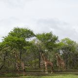 Four Giraffes stand in woodland Stock Image