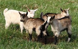 Four goats Stock Photo