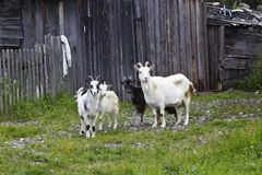 Four goats Royalty Free Stock Images